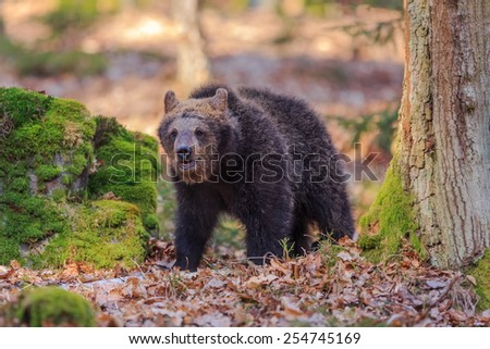 brown bear in wood  - stock photo