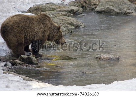 brown bear is drinking water in a lake