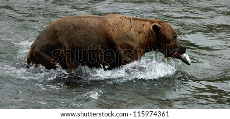 Brown bear is eating salmon.