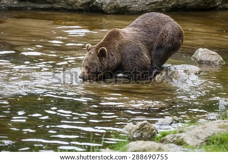 brown bear is fishing - stock photo