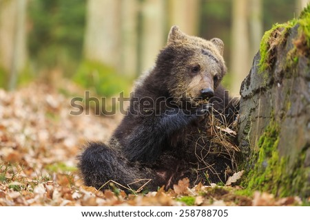 brown bear is next stone - stock photo