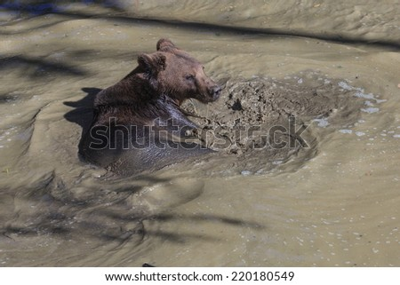 brown bear is swimming - stock photo
