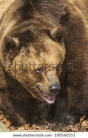 brown bear is very close up - stock photo