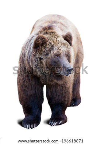 Brown bear. Isolated  over white background