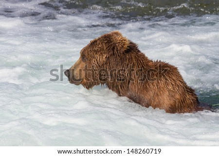 Brown Bear Jacuzzi. Brown bear sitting below Brooks falls fishing at Katmai National Park, Alaska - stock photo