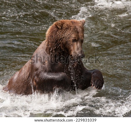 Brown bear jumping in stream after a salmon, splashing