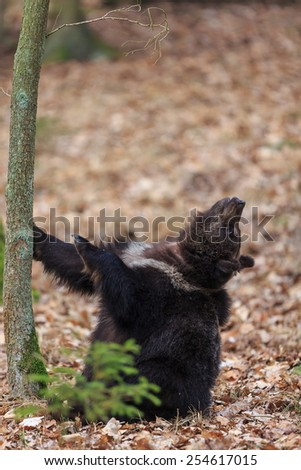 brown bear look up - stock photo