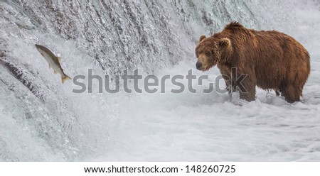Brown Bear Looking At Salmon Jumping up the Falls. A Brown bear fishing at the Brooks Falls at Katmai National Park, Alaska - stock photo