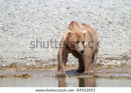 Brown bear looking for fish at a creek. Katmai, Alaska
