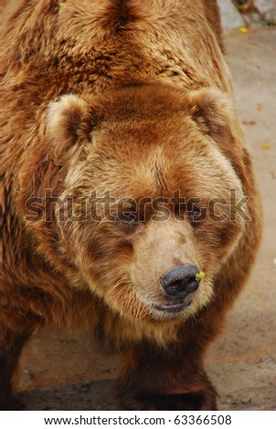 Brown Bear looking straight. closeup picture - stock photo