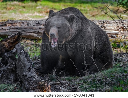 brown bear - male