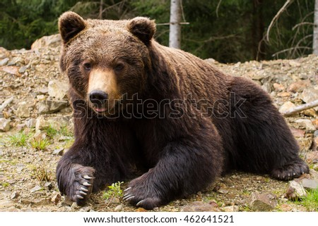 Brown bear. National Park in Carpathian mountains, Ukraine.