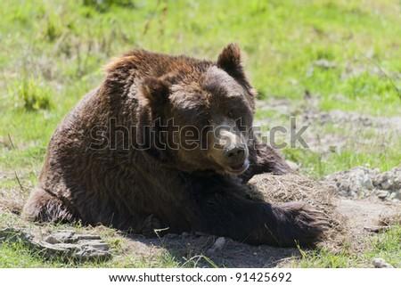 Brown bear on meadow - Ursus arctos - stock photo