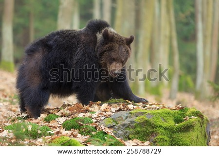 brown bear on the big stone - stock photo