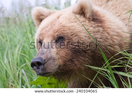 Brown Bear peaking out from some sedge, close up - stock photo
