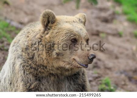Brown bear portrair - stock photo