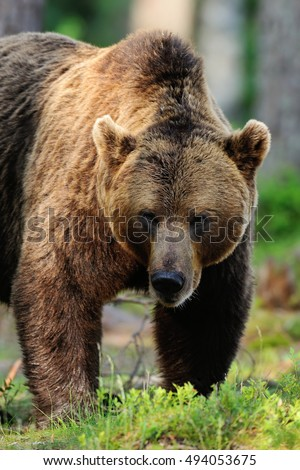 brown bear portrait. male brown bear