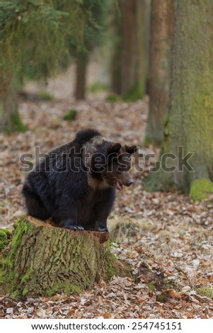 brown bear resting - stock photo