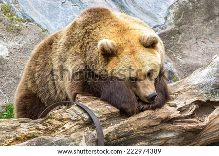 Brown bear resting on the log - stock photo