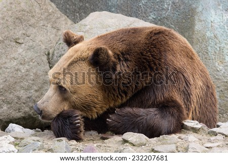 Brown bear resting on the rocks