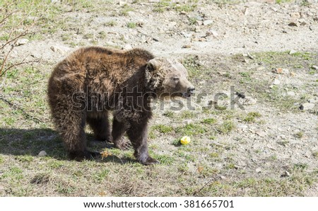 brown bear searching for food in the bush