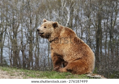 Brown bear siting in nature - stock photo
