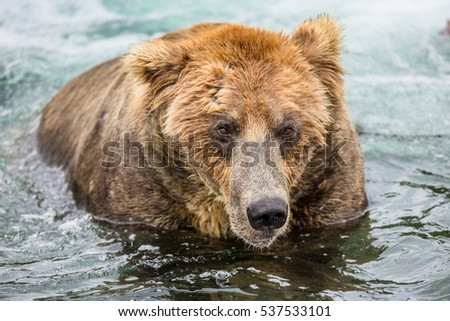 Brown bear sitting in the river. USA. Alaska. Katmai National Park. An excellent illustration.