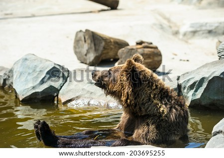 Brown bear sitting in the water - stock photo