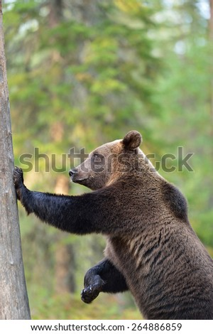 Brown bear standing against a tree - stock photo