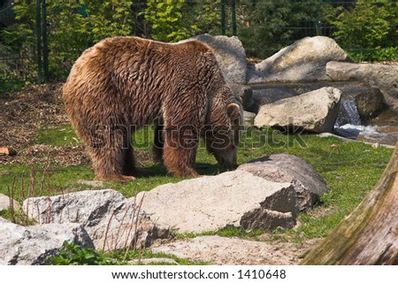 Brown bear standing on the lawn nearby the rocky brook. Berlin Zoo, Germany