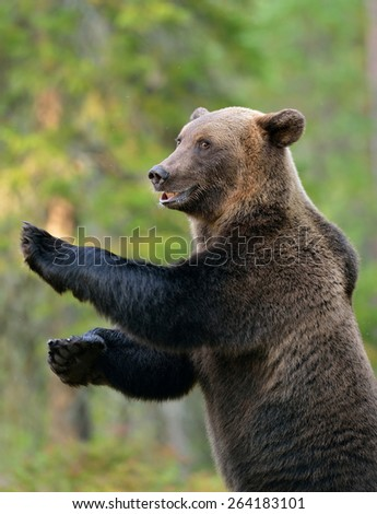 Brown bear standing, smiling, forest - stock photo