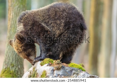 brown bear stands on the rock - stock photo