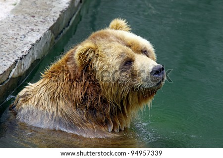 Brown bear submerged in water as shot in natural zoo environment