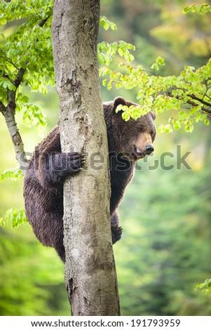 Brown bear (Ursus arctos), climbing - stock photo