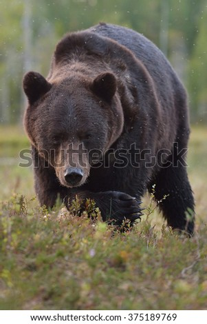 Brown bear (Ursus arctos) close up. Portrait. Paw. Claws. Bog. Taiga. - stock photo