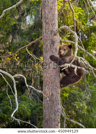 Brown Bear (Ursus arctos) cub having scented danger, got on a  Pine tree. Spring forest.