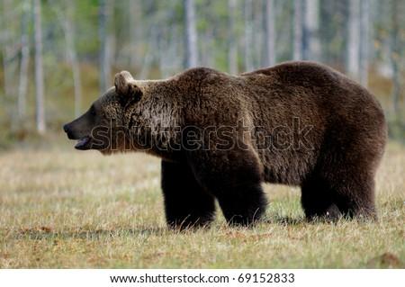 Brown Bear, Ursus arctos, Finland, Boreal Forest - stock photo