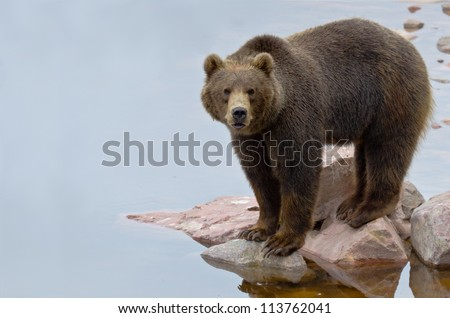 Brown bear (Ursus arctos) fishing salmon in a river - stock photo