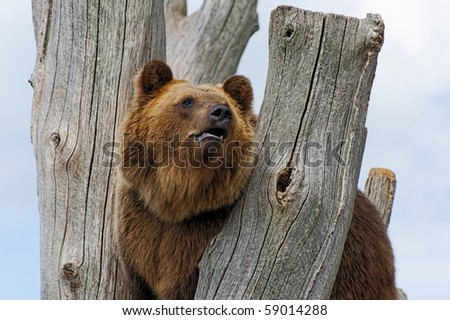Brown bear,ursus arctos, on a tree