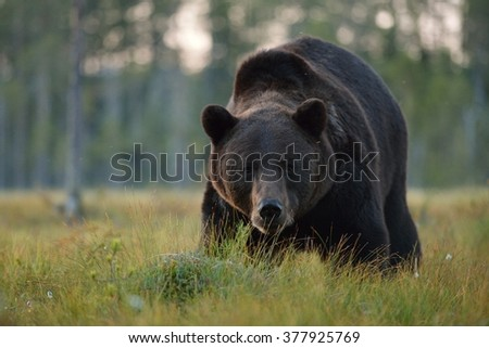 Brown bear (Ursus arctos) portrait. Male bear close up. Bear face. Forest. Wildlife. Evening. - stock photo