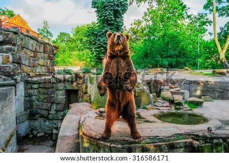 Brown bear (Ursus arctos) standing, front view - stock photo