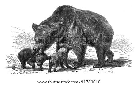 Brown bear (Ursus arctos) / vintage illustration from Meyers Konversations-Lexikon 1897 - stock photo
