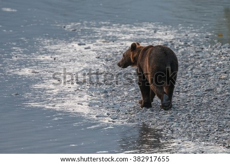Brown bear walking in a river bed - stock photo