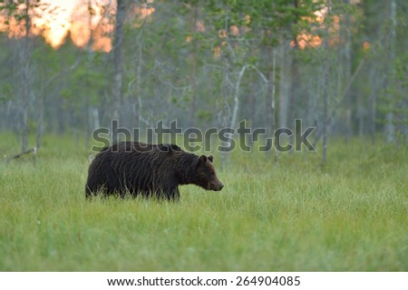 Brown bear walking in the bog at sunset, evening light. Arctic forest in background.