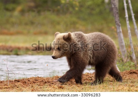 brown bear walking near the water side - stock photo