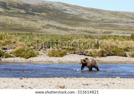 Brown bear walking trough the river
