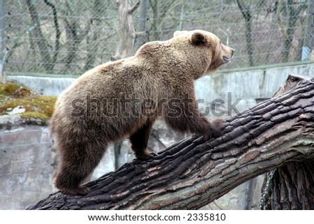 brown bear walking up a trunk, Skansen Park, Stockholm, Sweden - stock photo