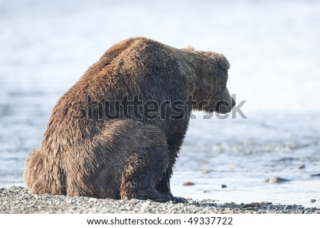 Brown bear watches water for signs of salmon. - stock photo