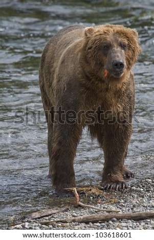 Brown Bear with a fresh catch of salmon in Katmai National Park in Alaska - stock photo
