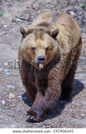 brown bear with  carrot in mouth - stock photo